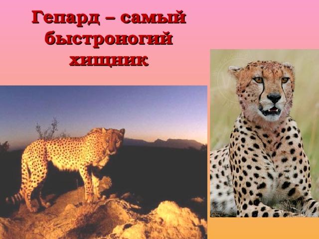 Гепард – самый быстроногий хищник