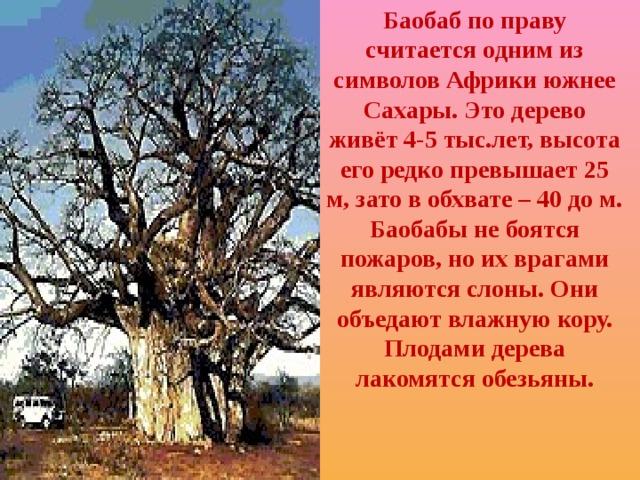 Баобаб по праву считается одним из символов Африки южнее Сахары.  Это дерево живёт 4-5 тыс.лет, высота его редко превышает 25 м, зато в обхвате – 40 до м. Баобабы не боятся пожаров, но их врагами являются слоны. Они объедают влажную кору. Плодами дерева лакомятся обезьяны.
