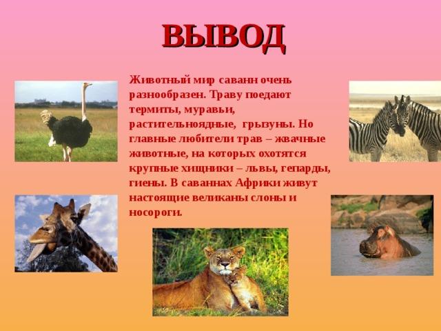 ВЫВОД Животный мир саванн очень разнообразен. Траву поедают термиты, муравьи, растительноядные, грызуны. Но главные любители трав – жвачные животные, на которых охотятся крупные хищники – львы, гепарды, гиены. В саваннах Африки живут настоящие великаны слоны и носороги.