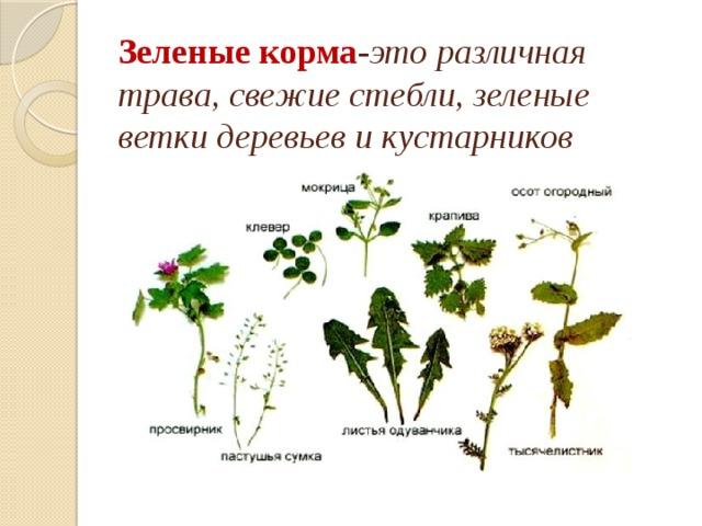Зеленые корма - это  различная трава, свежие стебли, зеленые ветки деревьев и кустарников