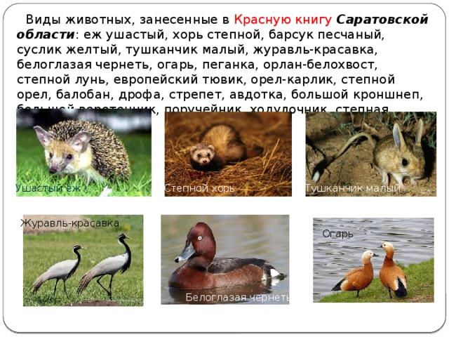 Виды животных, занесенные в Красную книгу  Саратовской области : еж ушастый, хорь степной, барсук песчаный, суслик желтый, тушканчик малый, журавль-красавка, белоглазая чернеть, огарь, пеганка, орлан-белохвост, степной лунь, европейский тювик, орел-карлик, степной орел, балобан, дрофа, стрепет, авдотка, большой кроншнеп, большой веретенник, поручейник, ходулочник, степная тиркушка. Ушастый ёж Степной хорь Тушканчик малый Журавль-красавка Огарь Белоглазая чернеть