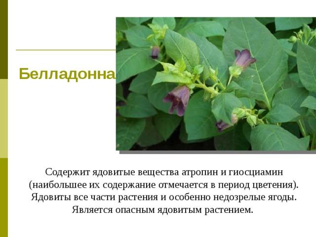 Белладонна Содержит ядовитые вещества атропин и гиосциамин (наибольшее их содержание отмечается в период цветения). Ядовиты все части растения и особенно недозрелые ягоды. Является опасным ядовитым растением.