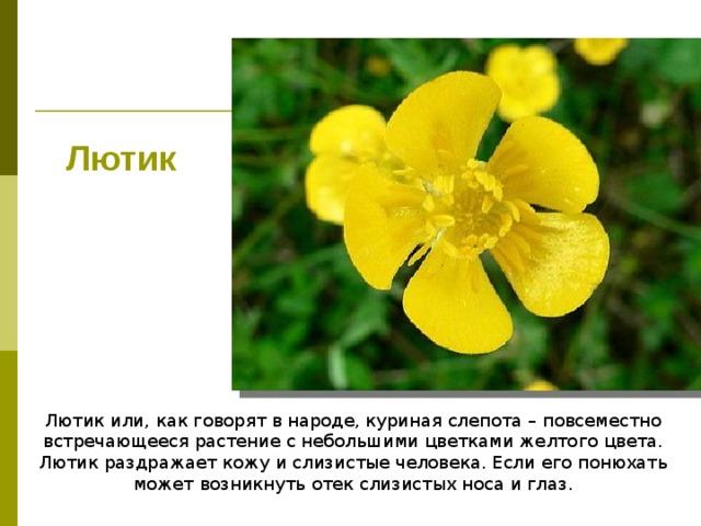 Лютик Лютик или, как говорят в народе, куриная слепота – повсеместно встречающееся растение с небольшими цветками желтого цвета. Лютик раздражает кожу и слизистые человека. Если его понюхать может возникнуть отек слизистых носа и глаз.