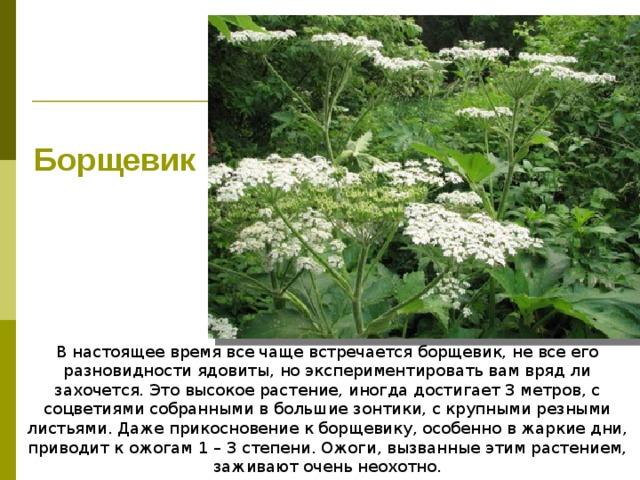 Борщевик В настоящее время все чаще встречается борщевик, не все его разновидности ядовиты, но экспериментировать вам вряд ли захочется. Это высокое растение, иногда достигает 3 метров, с соцветиями собранными в большие зонтики, с крупными резными листьями. Даже прикосновение к борщевику, особенно в жаркие дни, приводит к ожогам 1 – 3 степени. Ожоги, вызванные этим растением, заживают очень неохотно.