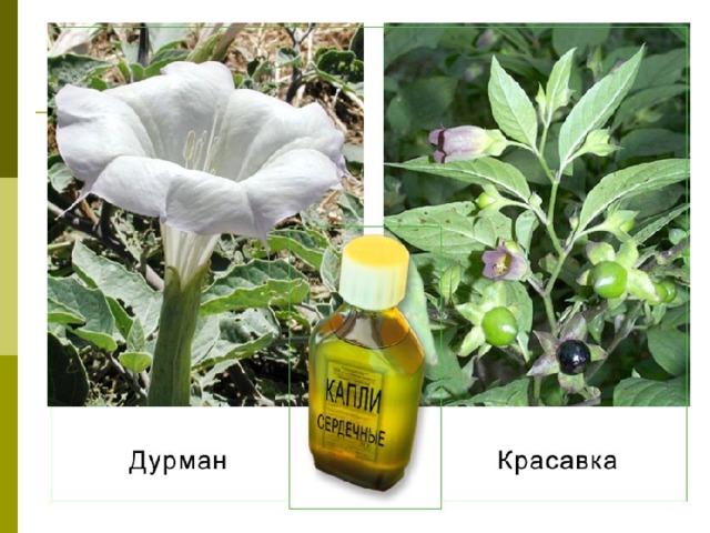 Лекарственные растения Ромашка Ландыш Одуванчик