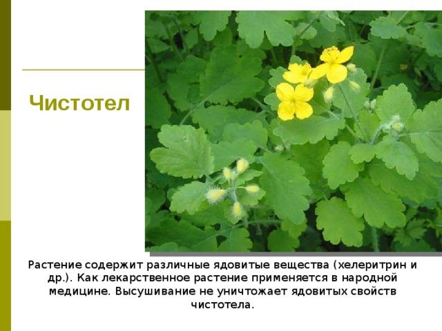 Чистотел Растение содержит различные ядовитые вещества (хелеритрин и др.). Как лекарственное растение применяется в народной медицине. Высушивание не уничтожает ядовитых свойств чистотела.