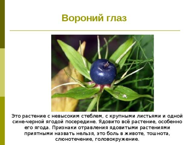 Вороний глаз Это растение с невысоким стеблем, с крупными листьями и одной сине-черной ягодой посередине. Ядовито всё растение, особенно его ягода. Признаки отравления ядовитыми растениями приятными назвать нельзя, это боль в животе, тошнота, слюнотечение, головокружение.
