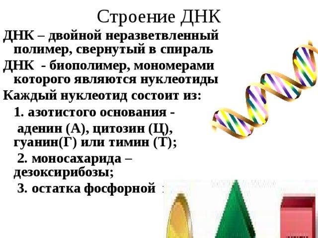 Строение ДНК ДНК – двойной неразветвленный полимер, свернутый в спираль ДНК - биополимер, мономерами которого  являются  нуклеотиды Каждый нуклеотид состоит из:  1. азотистого основания -  аденин (А), цитозин (Ц), гуанин(Г) или тимин (Т);  2. моносахарида – дезоксирибозы;  3. остатка фосфорной кислоты