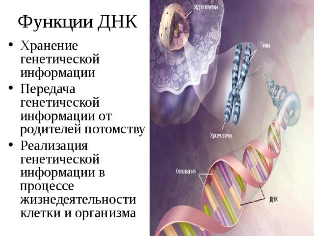 Функции ДНК
