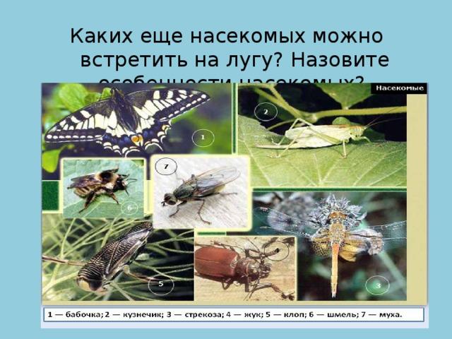 Каких еще насекомых можно встретить на лугу? Назовите особенности насекомых?