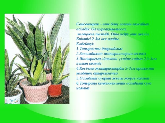 Сансевиерия – өте баяу өсетін ғажайып өсімдік. Ол құрғақшылыққа,  көлеңкеге төзімді. Оны өсіру өте жеңіл. Биіктігі 2-3м өсе алады. Көбейтуі: