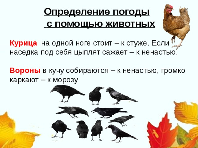 Определение погоды  с помощью животных Курица на одной ноге стоит – к стуже. Если наседка под себя цыплят сажает – к ненастью. Вороны в кучу собираются – к ненастью, громко каркают – к морозу