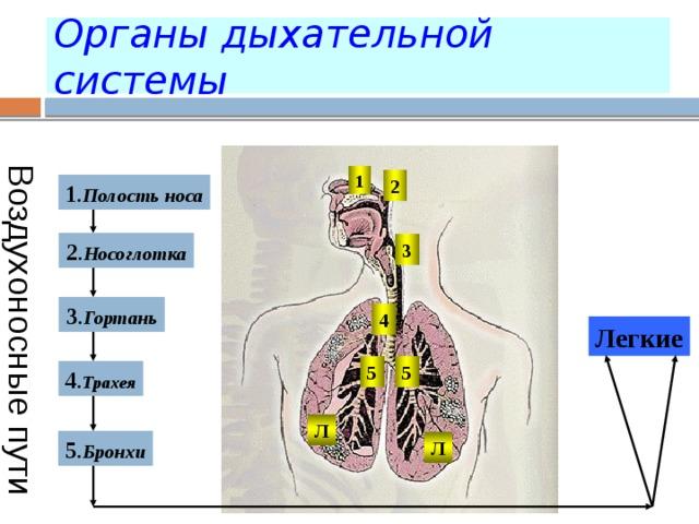 Воздухоносные пути Органы дыхательной системы 1 2 1 . Полость носа 2 . Носоглотка 3 3 . Гортань 4 Легкие 5 5 4 . Трахея Л 5 . Бронхи Л