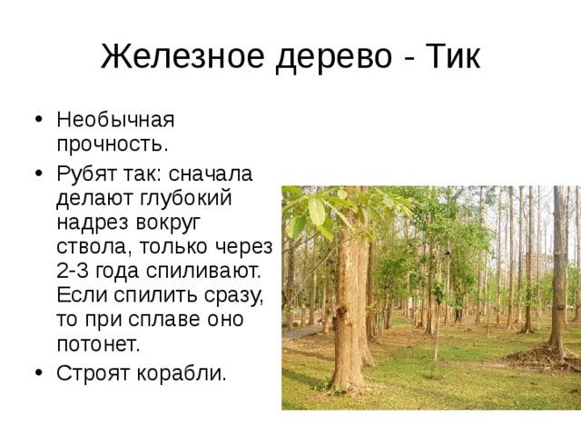 Железное дерево - Тик