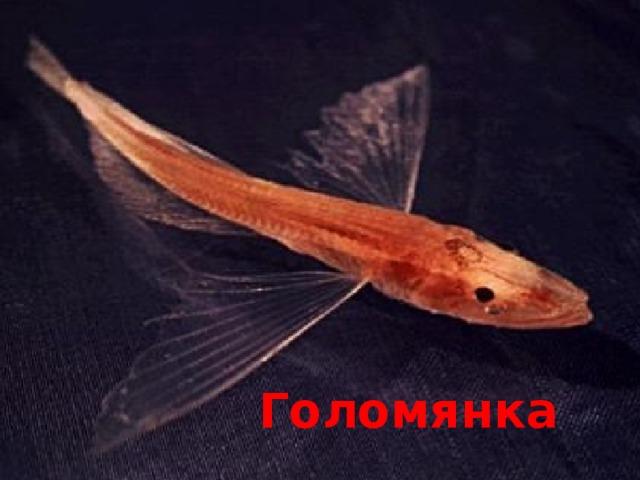 Голомянка