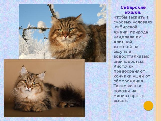 Сибирские кошки. Чтобы выжить в суровых условиях сибирской жизни, природа наделила их длинной, жесткой на ощупь и водоотталкивающей шерстью. Кисточки предохраняют кончики ушей от обморожения. Такие кошки похожи на миниатюрных рысей.