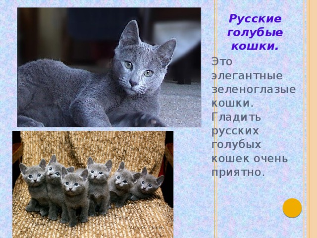 Русские голубые кошки. Это элегантные зеленоглазые кошки. Гладить русских голубых кошек очень приятно.