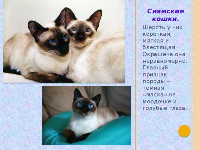 Сиамские кошки. Шерсть у них короткая, мягкая и блестящая. Окрашена она неравномерно. Главный признак породы – тёмная «маска» на мордочке и голубые глаза.
