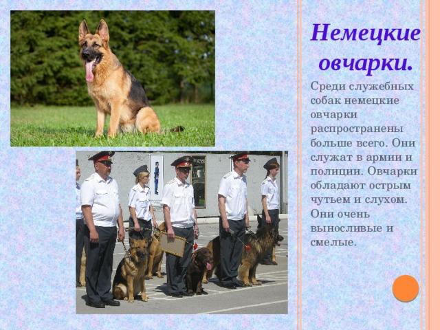 Немецкие овчарки. Среди служебных собак немецкие овчарки распространены больше всего. Они служат в армии и полиции. Овчарки обладают острым чутьем и слухом. Они очень выносливые и смелые.