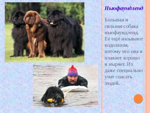 Ньюфаундленд . Большая и сильная собака ньюфаундленд. Её ещё называют водолазом, потому что она и плавает хорошо и ныряет. Их даже специально учат спасать людей.