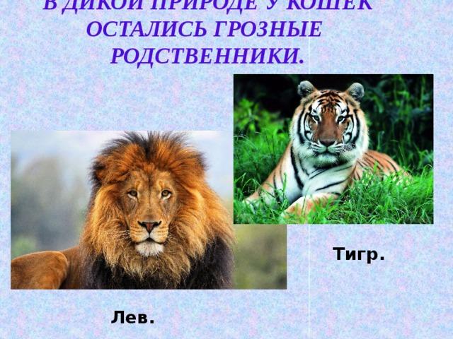 В дикой природе у кошек остались грозные родственники. Тигр. Лев.