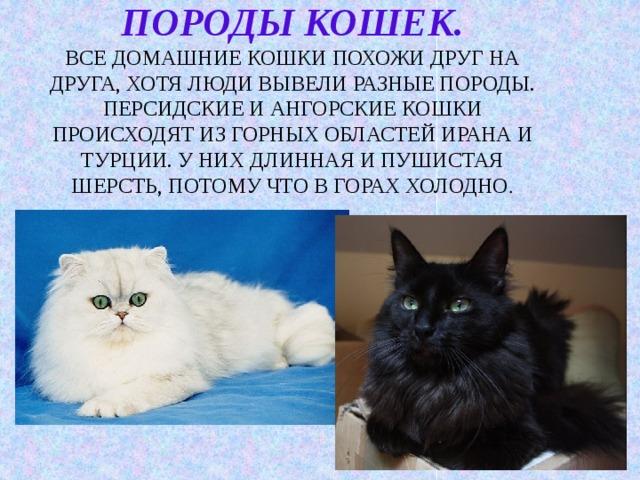 Породы кошек.  Все домашние кошки похожи друг на друга, хотя люди вывели разные породы.  Персидские и ангорские кошки происходят из горных областей Ирана и Турции. У них длинная и пушистая шерсть, потому что в горах холодно .