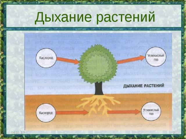 Дыхание растений 06.11.17