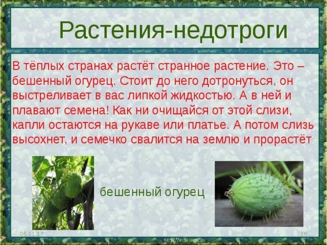 Растения-недотроги В тёплых странах растёт странное растение. Это – бешенный огурец. Стоит до него дотронуться, он выстреливает в вас липкой жидкостью. А в ней и плавают семена! Как ни очищайся от этой слизи, капли остаются на рукаве или платье. А потом слизь высохнет, и семечко свалится на землю и прорастёт . бешенный огурец 06.11.17