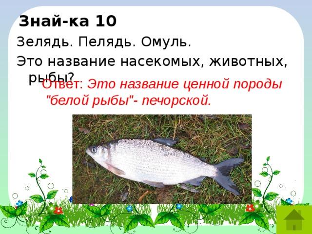 Знай-ка 10 Зелядь. Пелядь. Омуль. Это название насекомых, животных, рыбы? Ответ: Это название ценной породы