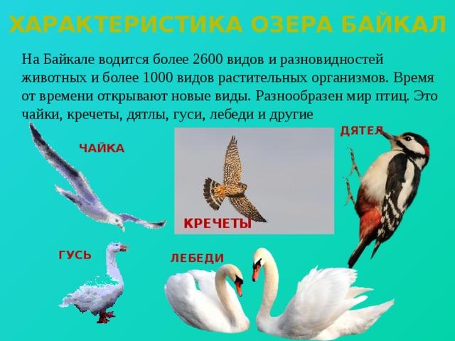 Характеристика озера байкал  На Байкале водится более 2600 видов и разновидностей животных и более 1000 видов растительных организмов. Время от времени открывают новые виды. Разнообразен мир птиц. Это чайки, кречеты, дятлы, гуси, лебеди и другие ДЯТЕЛ ЧАЙКА КРЕЧЕТЫ ГУСЬ ЛЕБЕДИ