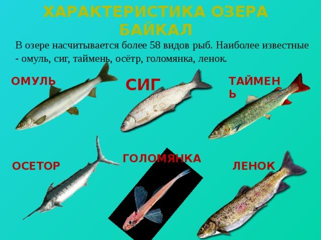 Характеристика озера байкал  В озере насчитывается более 58 видов рыб. Наиболее известные - омуль, сиг, таймень, осётр, голомянка, ленок. СИГ ТАЙМЕНЬ ОМУЛЬ ГОЛОМЯНКА ОСЕТОР ЛЕНОК