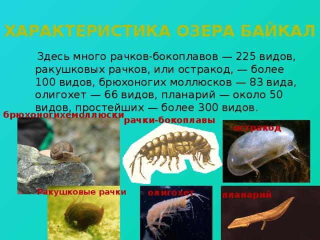 Характеристика озера байкал  Здесь много рачков-бокоплавов — 225 видов, ракушковых рачков, или остракод, — более 100 видов, брюхоногих моллюсков — 83 вида, олигохет — 66 видов, планарий — около 50 видов, простейших — более 300 видов. брюхоногихемоллюски рачки-бокоплавы остракод Ракушковые рачки олигохет планарий