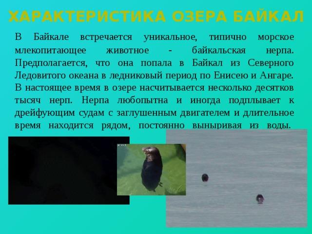 Характеристика озера байкал  В Байкале встречается уникальное, типично морское млекопитающее животное - байкальская нерпа. Предполагается, что она попала в Байкал из Северного Ледовитого океана в ледниковый период по Енисею и Ангаре. В настоящее время в озере насчитывается несколько десятков тысяч нерп.  Нерпа любопытна и иногда подплывает к дрейфующим судам с заглушенным двигателем и длительное время находится рядом, постоянно выныривая из воды.