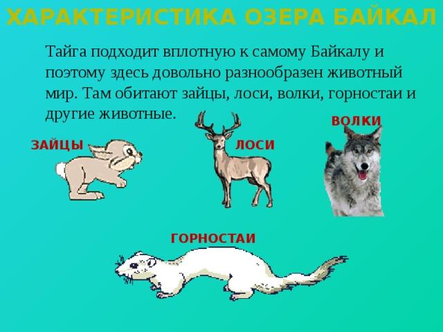 Характеристика озера байкал  Тайга подходит вплотную к самому Байкалу и поэтому здесь довольно разнообразен животный мир. Там обитают зайцы, лоси, волки, горностаи и другие животные. ВОЛКИ ЗАЙЦЫ ЛОСИ ГОРНОСТАИ
