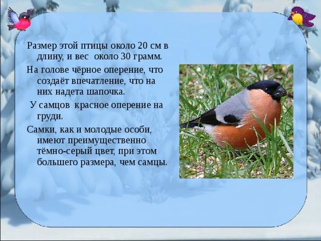 Размер этой птицы около 20 см в длину, и вес около 30 грамм. На голове чёрное оперение, что создаёт впечатление, что на них надета шапочка.  У самцов красное оперение на груди. Самки, как и молодые особи, имеют преимущественно тёмно-серый цвет, при этом большего размера, чем самцы.