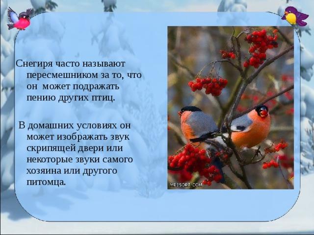Снегиря часто называют пересмешником за то, что он может подражать пению других птиц.  В домашних условиях он может изображать звук скрипящей двери или некоторые звуки самого хозяина или другого питомца.