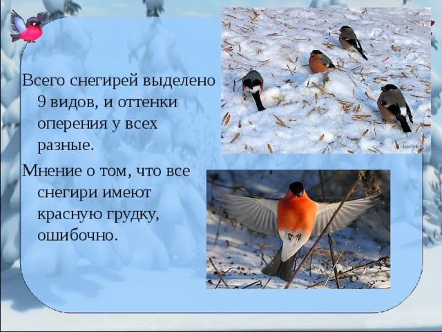 Всего снегирей выделено 9 видов, и оттенки оперения у всех разные. Мнение о том, что все снегири имеют красную грудку, ошибочно.