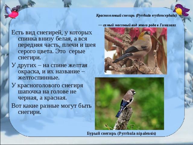 Красноголовый снегирь (Pyrrhula erythrocephala)  — самый массовый вид этого рода в Гималаях  Есть вид снегирей, у которых спинка внизу белая, а вся передняя часть, плечи и шея серого цвета. Это серые снегири. У других – на спине желтая окраска, и их название – желтоспинные. У красноголового снегиря шапочка на голове не черная, а красная. Вот какие разные могут быть снегири.  Бурый снегирь (Pyrrhula nipalensis)