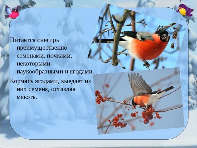 Питается снегирь преимущественно семенами, почками, некоторыми паукообразными и ягодами. Кормясь ягодами, выедает из них семена, оставляя мякоть.
