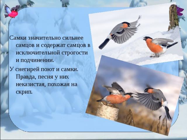 Самки значительно сильнее самцов и содержат самцов в исключительной строгости и подчинении. У снегирей поют и самки. Правда, песня у них неказистая, похожая на скрип.