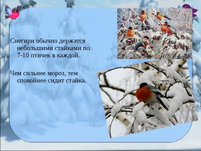 Снегири обычно держатся небольшими стайками по 7-10 птичек в каждой. Чем сильнее мороз, тем спокойнее сидит стайка.