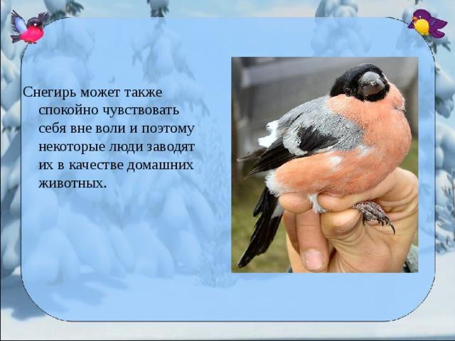 Снегирь может также спокойно чувствовать себя вне воли и поэтому некоторые люди заводят их в качестве домашних животных.
