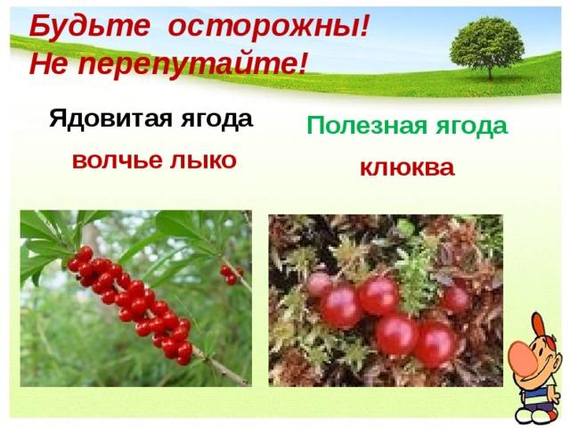 Будьте осторожны!  Не перепутайте! Ядовитая ягода Полезная ягода волчье лыко клюква
