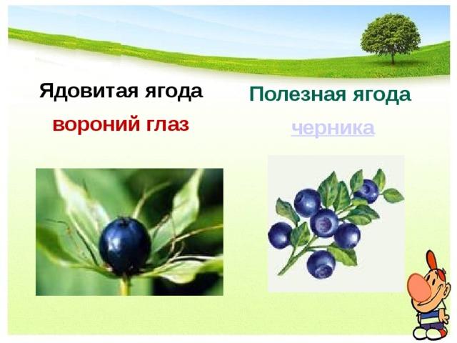 Полезная ягода черника Ядовитая ягода вороний глаз