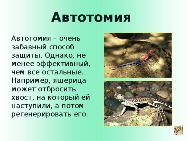 Автотомия Автотомия – очень забавный способ защиты. Однако, не менее эффективный, чем все остальные. Например, ящерица может отбросить хвост, на который ей наступили, а потом регенерировать его.