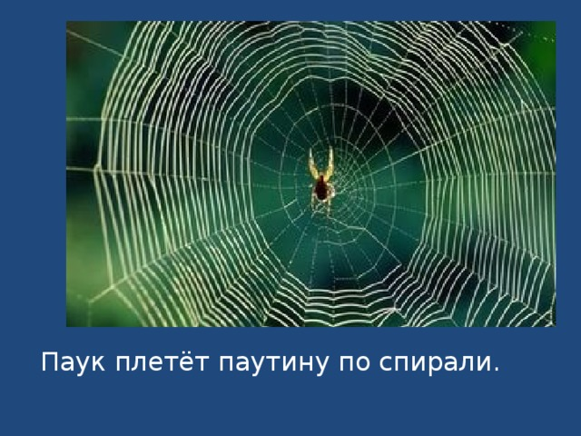 Паук плетёт паутину по спирали.