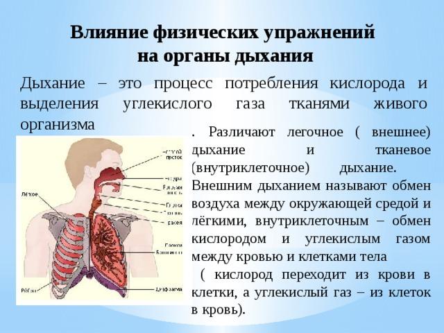 Влияние физических упражнений  на органы дыхания Дыхание – это процесс потребления кислорода и выделения углекислого газа тканями живого организма . Различают легочное ( внешнее) дыхание и тканевое (внутриклеточное) дыхание.  Внешним дыханием называют обмен воздуха между окружающей средой и лёгкими, внутриклеточным – обмен кислородом и углекислым газом между кровью и клетками тела  ( кислород переходит из крови в клетки, а углекислый газ – из клеток в кровь).