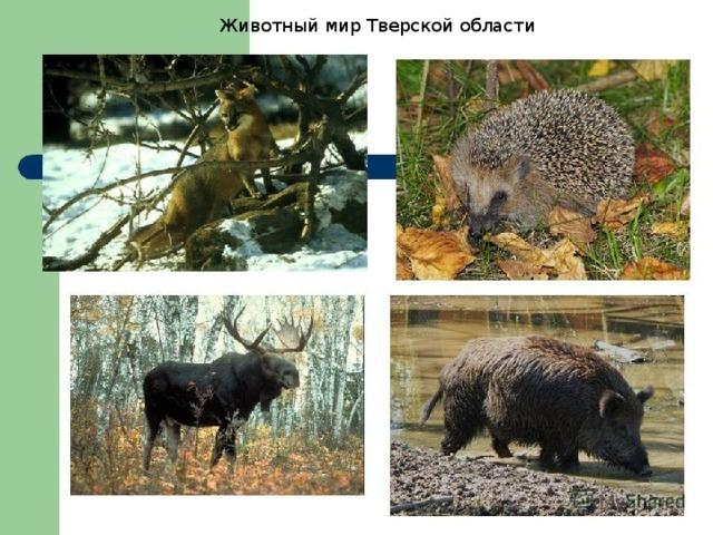 Животный мир Тверской области