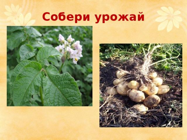 Собери урожай