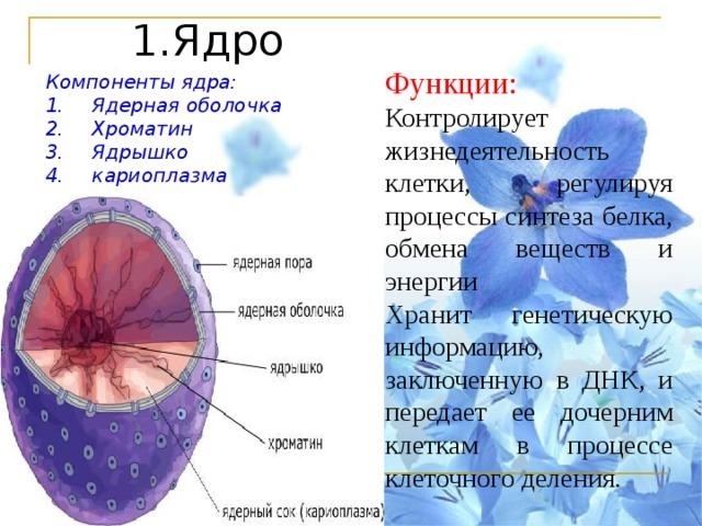 Доклад про ядро клетки 2572